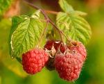 Raspberries_(Rubus_Idaeus)