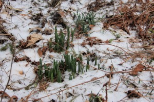 ...and the daffodil shoots are clearly visible...
