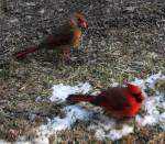 A cardinal pair return to Laurel Mountain Borough (PA)