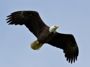 bald_eagle_adult
