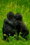 Two_orangutans_hugging_(5982655204)