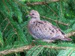 800px-Young_Mourning_Dove