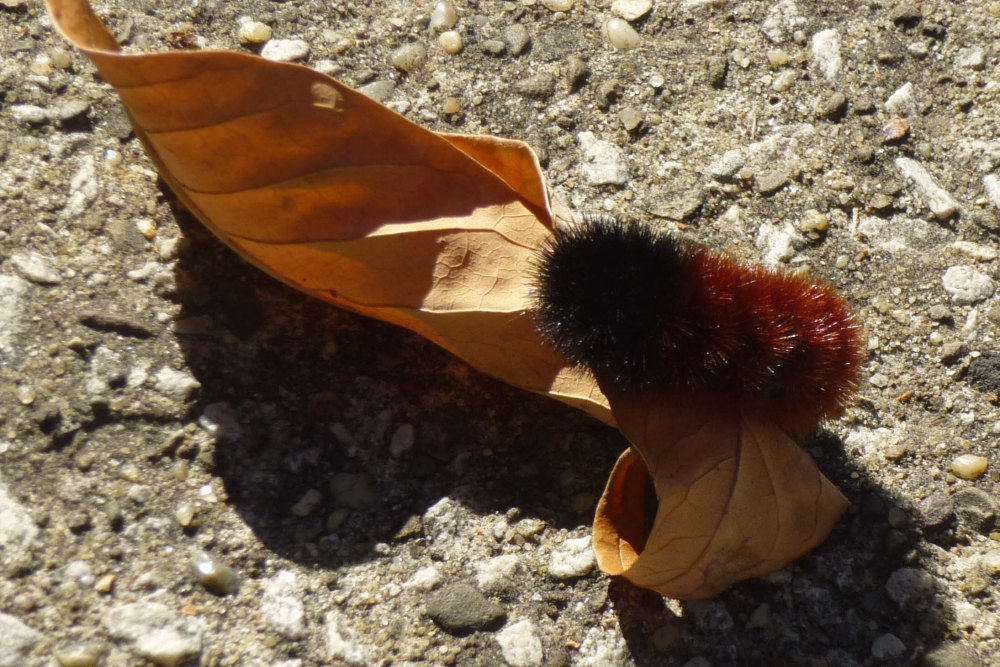 Wooly Worm Winter Weather Prediction 2013-2014 (2/2)