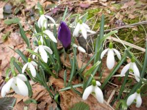 March 28, 2014: Snowdrops with open petals are joined by a purple crocus