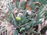 On March 28, 2014, this daffodil had some maturing to do. It was blooming the week before Easter.