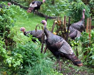 Turkeys in a garden in East Weymouth, Mass.