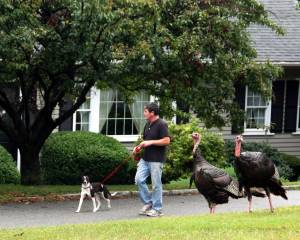 Turkeys in East Weymouth, Mass.