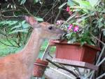 Our unexpected guest chomps on my summer flowers.